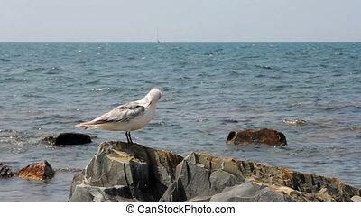 Seagull on the rocks closeup