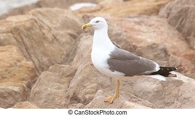Seagull on the rocks.