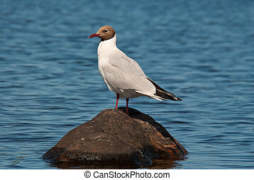 Seagull on the stone.