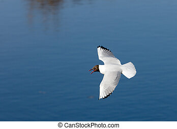 Seagull over the river