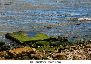 Seagull perched on a stone with algae