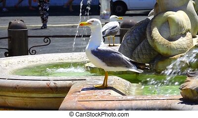 seagull. Piazza Navona, with fountain, statue. slowmotion