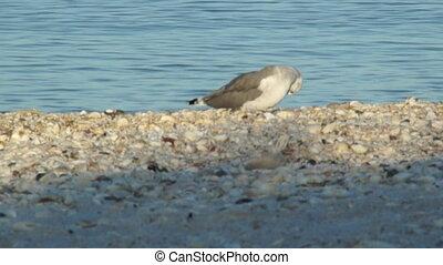 Seagull preening on beach - A seagull on bonita beach in...