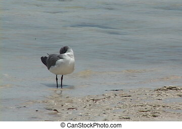 Seagull Preening - Seagull stands at the waters edge and...