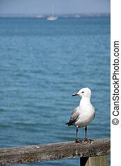 Seagull - Rangitoto Island, New Zealand