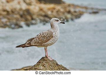 Seagull Resting on Stone