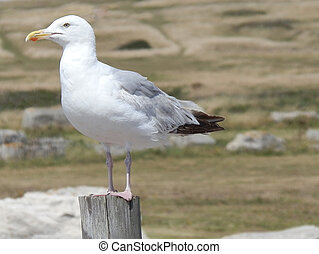 Seagull Sat On A Post