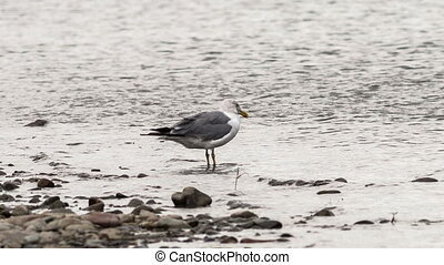 Seagull - seagull walks along the river bank