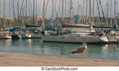 Seagull Sits on Wooden Pier at Port Vell of Barcelona Port....
