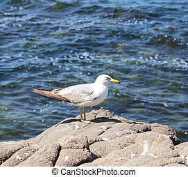seagull sitting on a rock