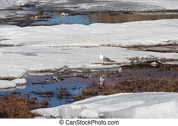 Seagull sitting on an ice floe
