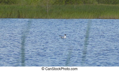 Seagull sitting on the surface of a lake