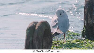 Seagull sleeps hiding its beak under feathers. Sea bird on concrete breakwater with moss. Sochi, Russia.