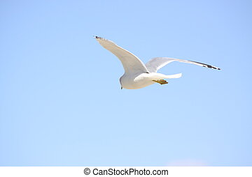 Seagull Soaring - A beautiful seagull flying high against a...