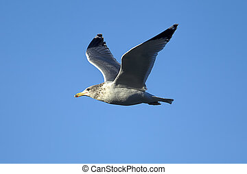 Seagull soaring up in the bright blue sky.