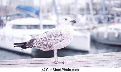 Seagull standing and walking on the pier against blurred...