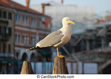 Seagull Standing And Watching, Venice Italia