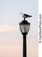 Seagull standing on a cast iron street lamp at dusk