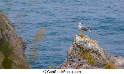 Seagull standing on a rock by the sea. bird calm elegant and...