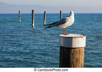 Seagull standing on a wooden post on Garda Lake, Italy
