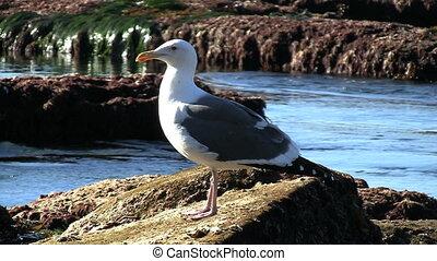 Seagull Standing On Rock - Seagull standing on rock.