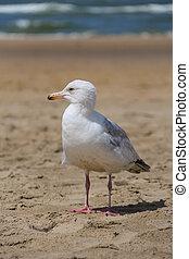 Seagull standing on sandy beach in Zandvoort, the Netherlands