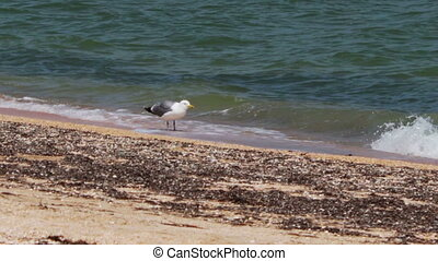 Seagull standing on the beach near the shore of the sea coast.