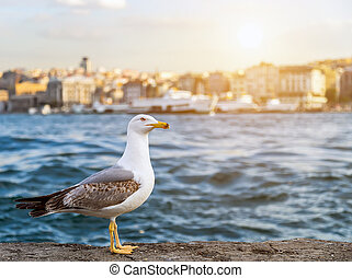 seagull standing sunset summer Istanbul is a...