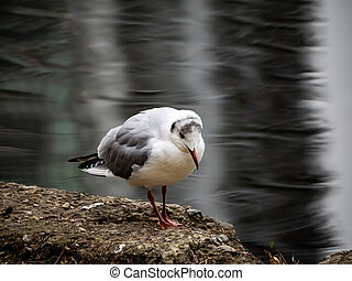 A Japanese black-tailed gull stands beside the pond in Ueno Park. These common sea birds can be found in great numbers even in ponds some distance from the ocean.