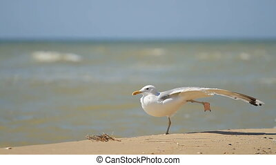Seagull stands on one paw at the sea