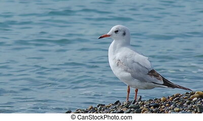 Seagull stands on pebble beach. Sea bird on rocky beach of Sochi, Russia.