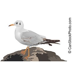 Seagull stands on stone isolated on white background