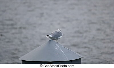 Seagull stand on a pole and scream