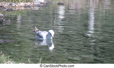 Seagull Swimming