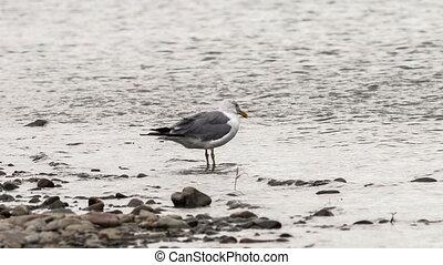 Seagull - seagull walks along the river bank