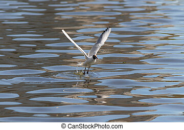 seagull taking off from water
