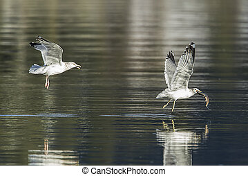 Seagull tries to get the fish from another.