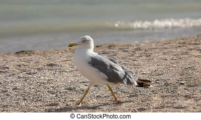 Seagull walking in slow-mo. Bird on the seashore. Facts...