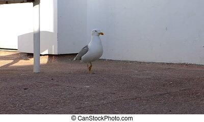 Seagull walking on concrete floor