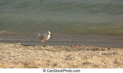 Seagull walking, slow motion.