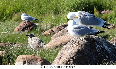 seagull with a baby bird on a stone in a colony of birds,...