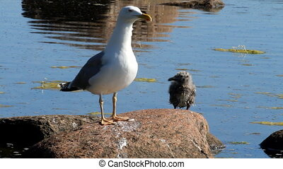 seagull with a baby bird on a stone in a colony of birds, with a voice