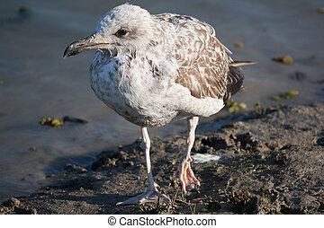 Seagull with a broken leg