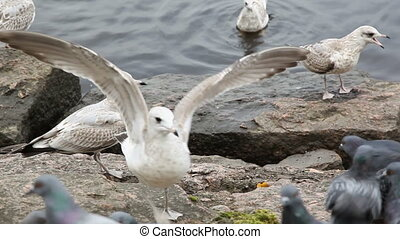 Seagulls and doves chased each others from eating bread ...