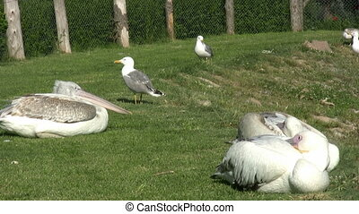 Seagulls and Pelicans Resting