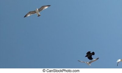 Seagulls attack in sky - Seagulls attacking from above,...