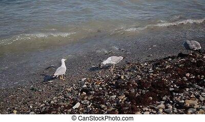 Seagulls catch fish on the seashore.