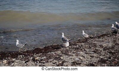 Seagulls catch fish on the seashore. - Seagulls catch fish...