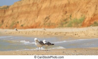 Seagulls clean feathers by the sea in Odessa region