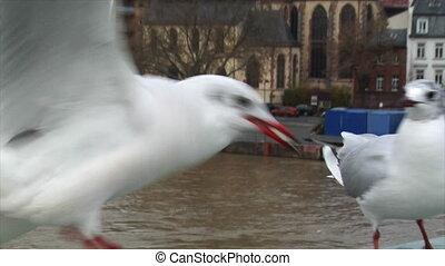 seagulls close frankfurt skyline
